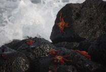 ecuador-galapagos-by-kara-gordon-crabs