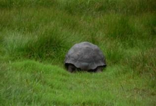 galapagosgs_by-elizabeth-angell-tortoise-2014-2015