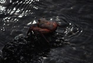 galapagosgs_by-kara-gordon-crab-close-up-2011