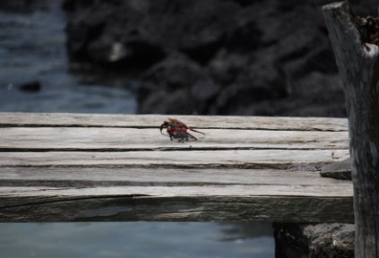 galapagosgs_by-kara-gordon-crab-on-wood-2011