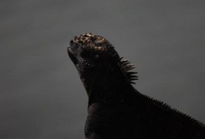 galapagosgs_by-kara-gordon-iguana-2011-4