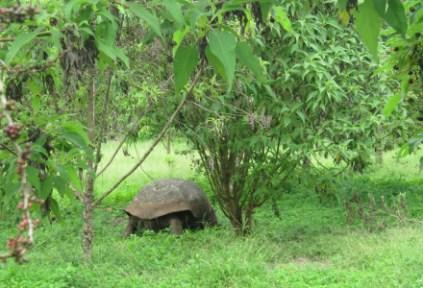 galapagosgs_by-kara-gordon-sea-turtle-in-grass-2011
