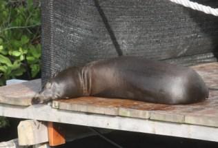 galapagosgs_by-kara-gordon-seal-2011