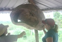 galapagosgs_by-kara-gordon-studying-sea-turtle-shell-2011