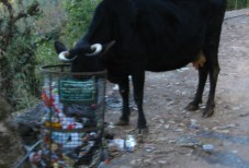 india-dharamsala-by-lindsey-weaver-cow-eating-garbage-a-common-sight-20061