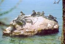 russia-lake-baikal-by-kirstin-bebell-baikal-seal-nerpa-2004
