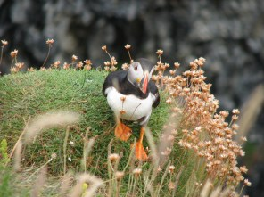 scotlandperformancegs_by-daniel-jones-puffin-2-staffa-2013