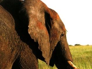 tanzaniags_by-alicia-davis-elephant-close-up-20111