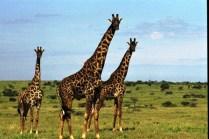 tanzaniags_by-laura-deluca-giraffe-2011