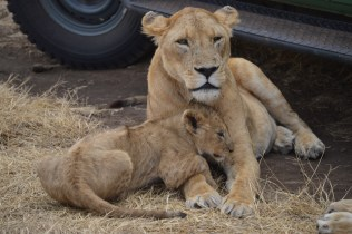 tanzaniags_by-laura-deluca-lion-and-cub-2014