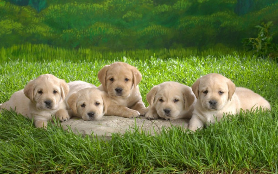 wallpapers-cute-dogs-nature-animals-puppies