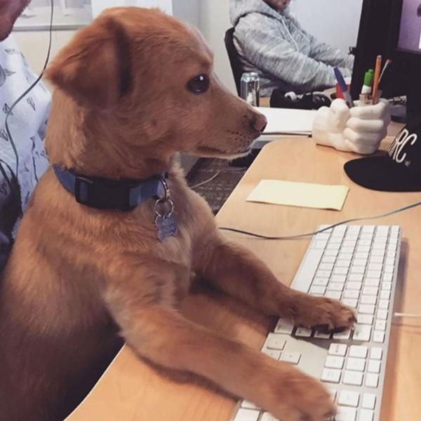 cane-concentrato-sul-lavoro-e1460204737315