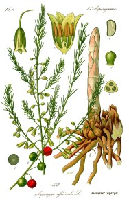 Illustrazione dell'Asparagus officinalis