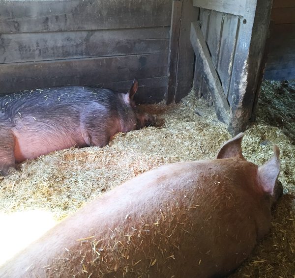 Muscoot Farm pigs