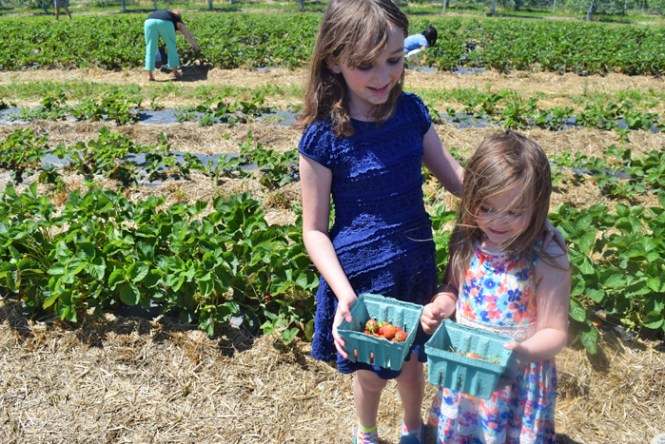 strawberry picking with kids #hudsonvalley