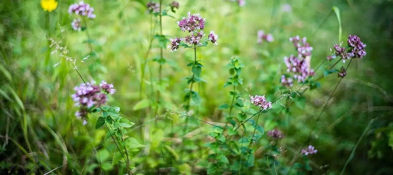 Origanum vulgare, Cueilleurs sauvages