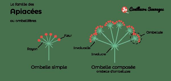 Les disposition des fleurs de la famille des apiacées. Cueilleurs Sauvages.