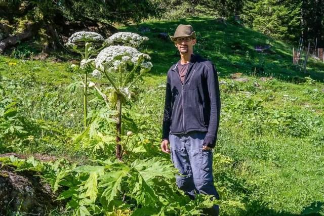Berce du Caucase. Cueilleurs Sauvages