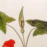 """Featured image for """"Arum tacheté ou gouet (Arum maculatum):  la plante toxique à connaître"""""""