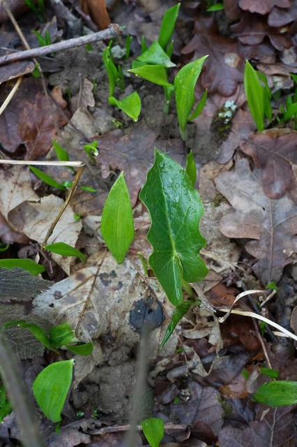 Jeune feuille d'arum tacheté