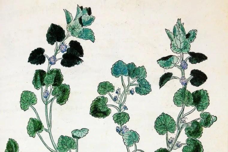 Lierre terrestre dans l'Herbier de Fuchs