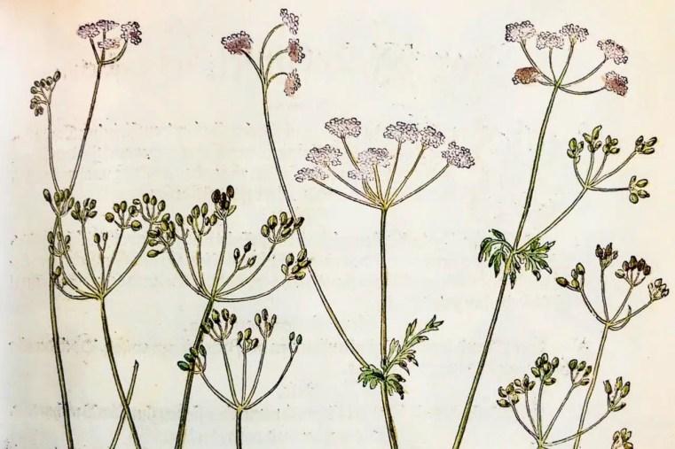 Carvi de l'Herbier de Fuchs