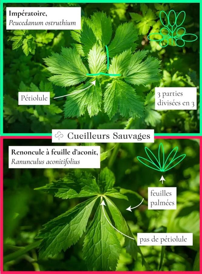 Imperatoire et renoncule à feuilles d'aconit