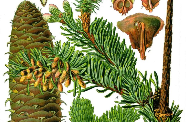Abies alba - Sapin blanc - illustration