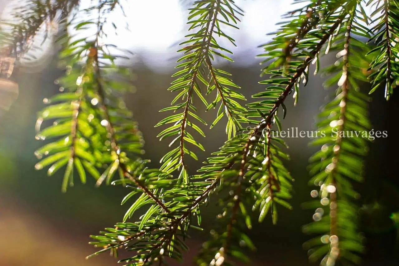 Picea abes - Epicéa commun - aiguilles
