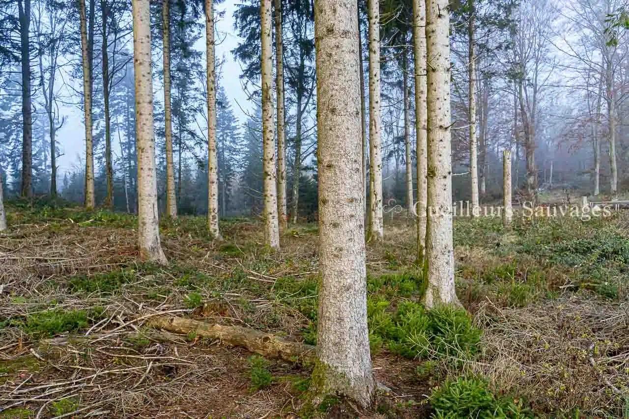Picea abes - Epicéa commun - tronc