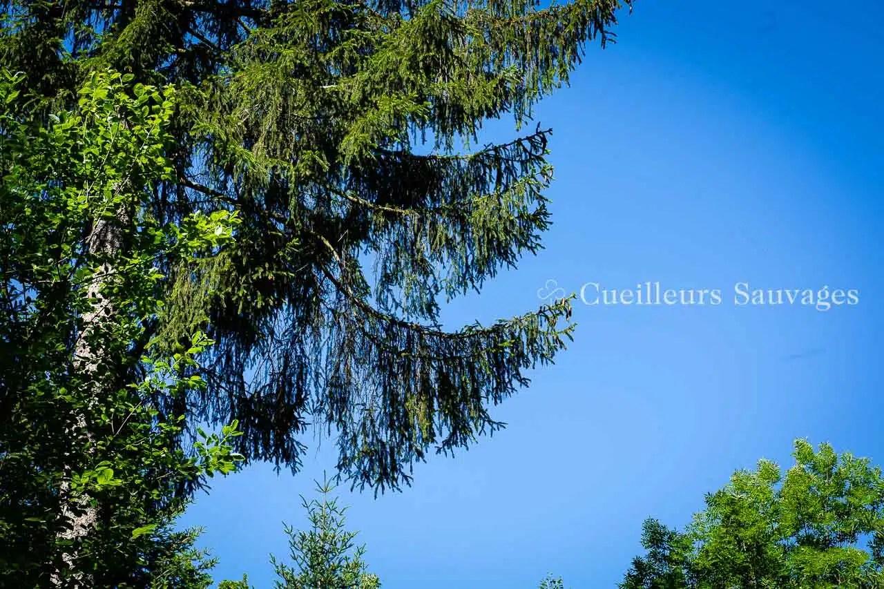 Picea abes - Epicéa commun