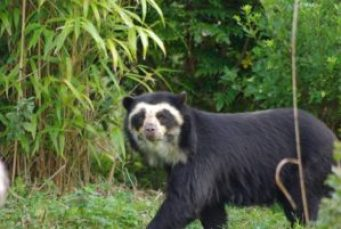 The spectacled bear is considered an endangered species.
