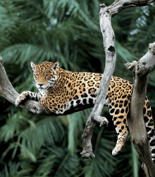 Called the most biodiverse place on earth, the Yasuní reserve also has the highest concentration of jaguars