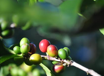Despite its high quality, Ecuadorian coffee exports continue to decline during the pandemic