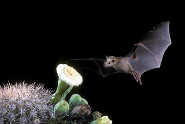 lesser_long-nosed_bat_lg1