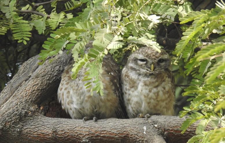 Athene_brama_Spotted_owlet_AUDKG_SB_190118_5