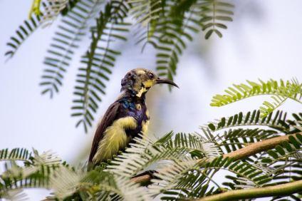 Purple sunbird (Cinnyris asiaticus)- Credit: Lakshya Dabas