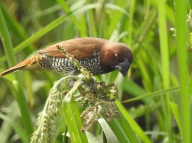 Scaly breasted munia (Lonchura punctulata)