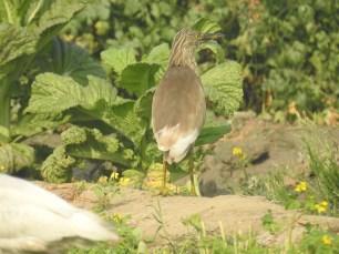 Pond-Heron at Dheerpur Wetland Park (Credit: Fizala Tayebulla)