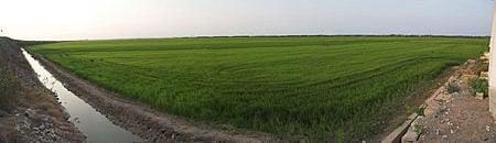 arrozales en massanassa