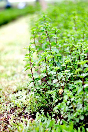 Beauty-Garden-jardin-menthe