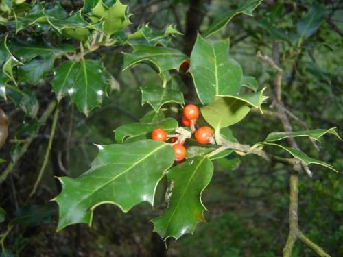 Acebo, árbol de la navidad y flor de Bach