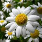 Manzanilla, planta medicinal y sus beneficios para la salud