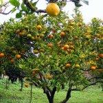 El Limón y sus propiedades
