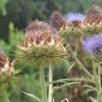 Beneficios de la alcachofa y sus propiedades curativas