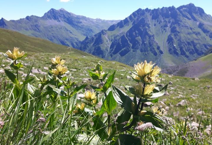 gentiane - austrian alps