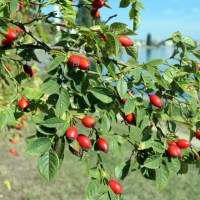 Buttenmost - A Rose Hip Purée from Northwestern Switzerland