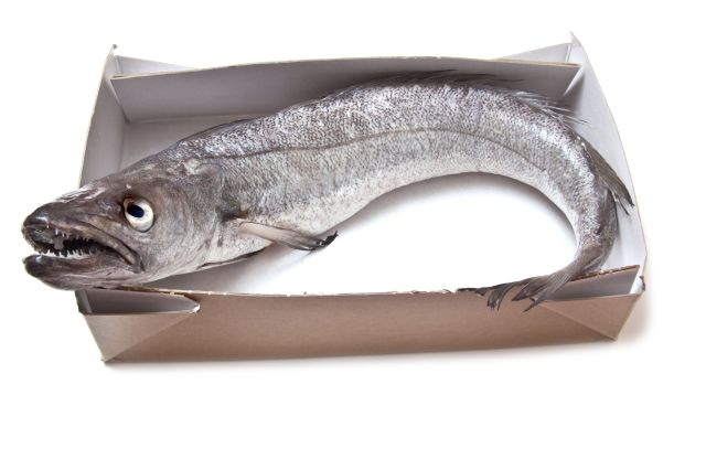 16488089 - european hake fish isolated on a white studio background.