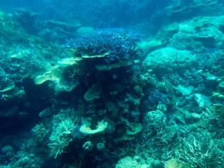 Great Barrier Reef–blue stag horn coral