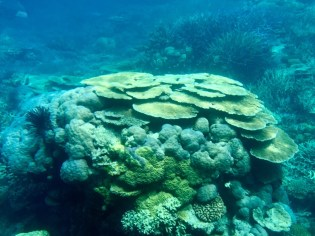 Great Barrier Reef–tabletop coral